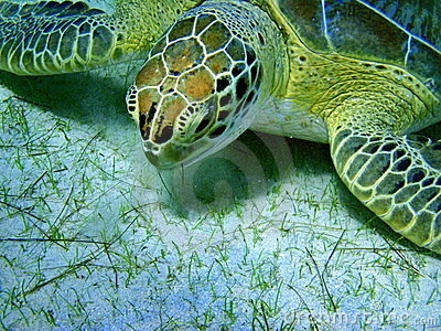 Sea turtle eating grass on sandy sea-bed