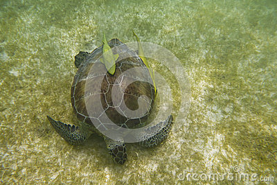 Sea turtle with fishes