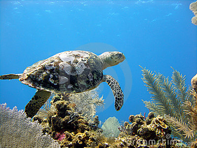 Sea turtle glides over a beautiful coral reef