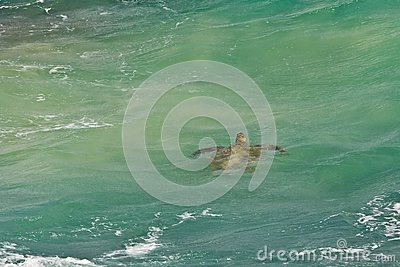 Sea Turtle in green tropical water