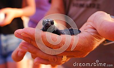 Sea Turtle Hatchling, Loggerhead baby