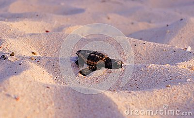 Sea Turtle Hatchling, Loggerhead, Faceplant baby