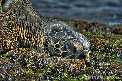 Sea Turtle in HDR