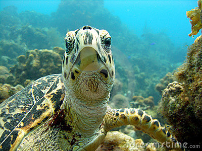Sea turtle meets scuba diver head on