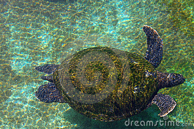 Sea turtle in the Red Sea