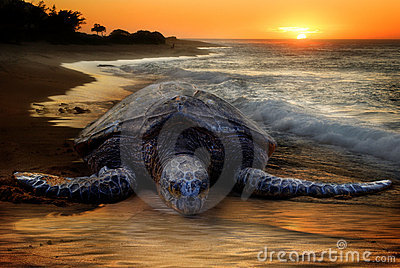 Sea Turtle, Sunset Beach