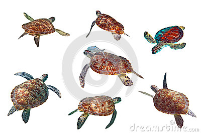 Sea turtles over white