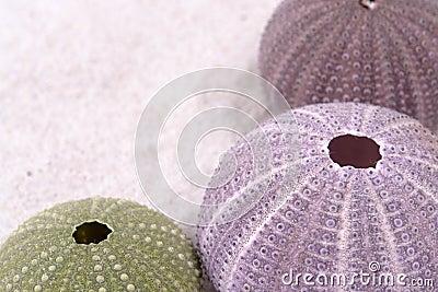 Sea urchin shell still life