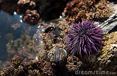 Sea Urchin in a tidal pool