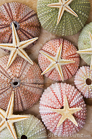 Free Sea Urchins And Starfish Royalty Free Stock Photo - 11776575