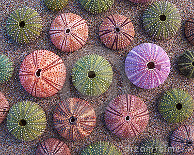 Sea urchins on wet sand