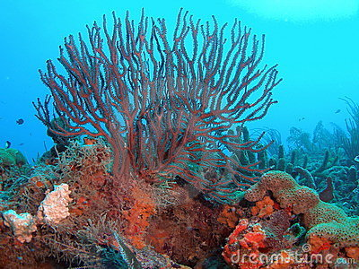 Sea Whip on a coral Reef