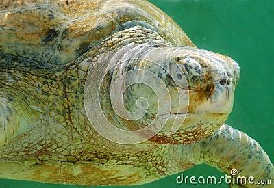 Sea white albino turtle