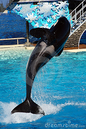 Free Sea World San Diego - Orca Leaping! Royalty Free Stock Image - 13113376