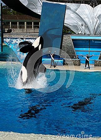 Free Sea World San Diego - Shamu Believe Show Stock Photo - 13113460