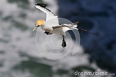 Seabird Gannet