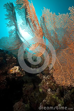 Seafan and underwater scenery in the Red Sea.
