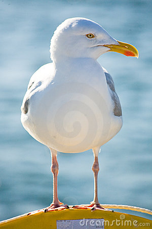 Free Seagul Royalty Free Stock Photography - 12929407