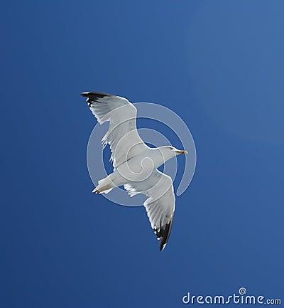 Seagul bird in fly
