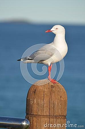 Free Seagull Stock Photos - 25403053