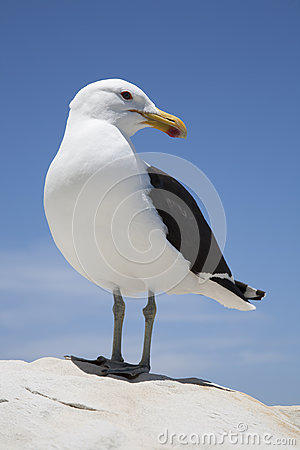 Free Seagull Stock Photos - 51115073