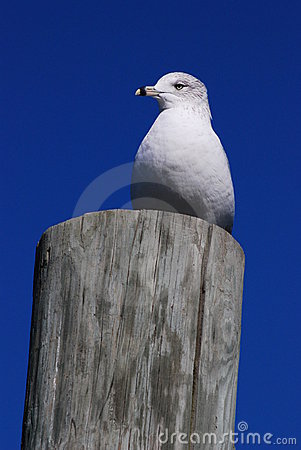 Free Seagull Royalty Free Stock Images - 8153379
