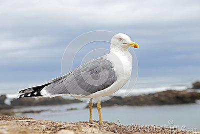 Seagull at the atlantic ocean