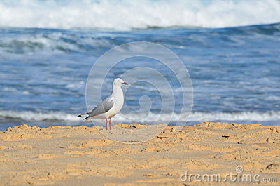 Seagull on the beach.