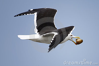 Seagull bird in flight