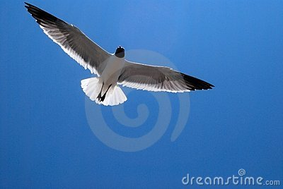 Seagull bird In the Sky