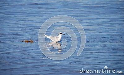 Seagull in blue sea