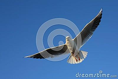 Seagull blue sky wings