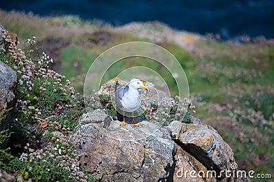 Seagull in Camariñas