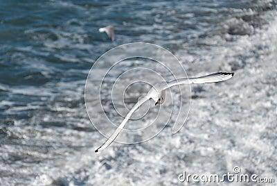 Seagull in Camogli