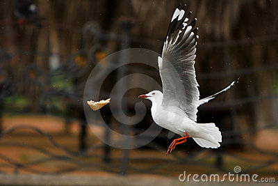 Seagull catching bread in midair.