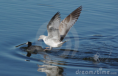 Seagull chasing a duck
