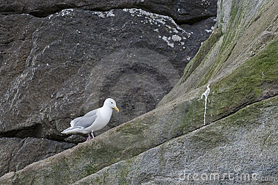 Seagull on cliff face