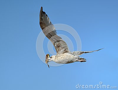 Seagull with crab in its beak