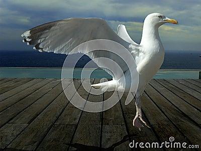 Seagull dancing