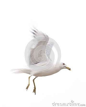 Seagull descending from flight