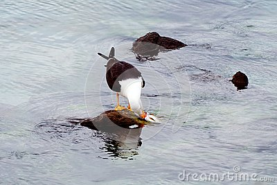 Seagull eating a fish