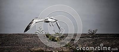 Seagull Flies From Pier