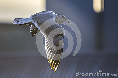 Seagull in flight (disambiguation)