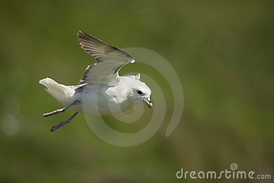 Seagull in flight, Mykines
