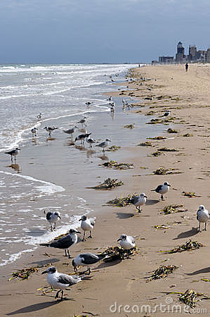 Seagull flock on beach