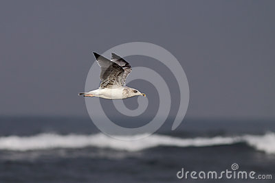 Seagull flying