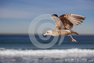 Sea Gull Crying In Istanbul, Turkey Stock Photo - Image: 50130583