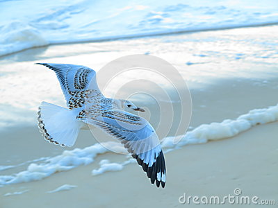 Silver gull flying over beach
