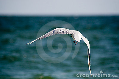 The seagull is flying over the sea