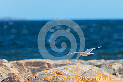 Seagull flying over the shoreline